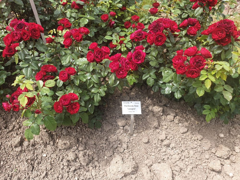 Rosensträucher