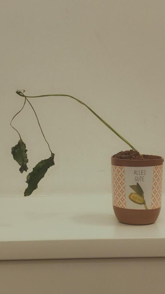 Blumentopf mit Pflanze, deren Blätter eingiermaßen tot sind