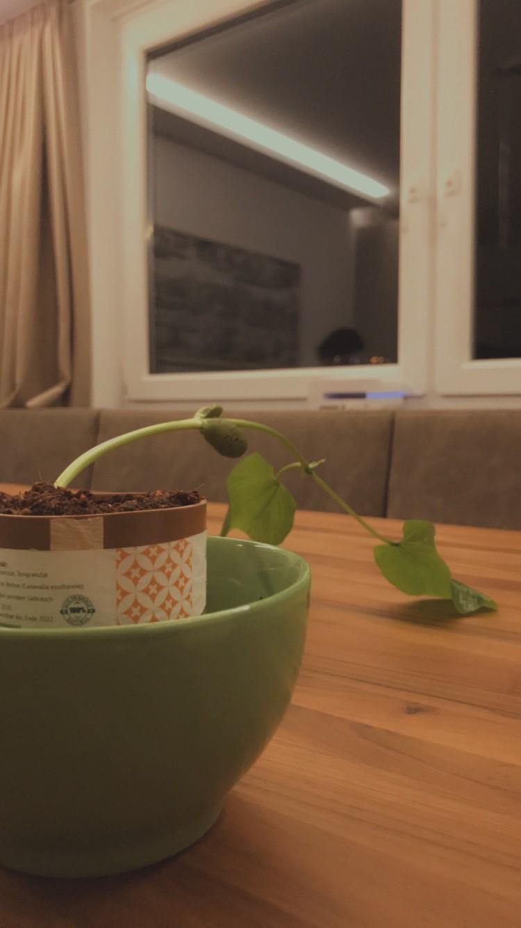 Blumentopf mit Bohnenranke mit noch wenigen Blättern
